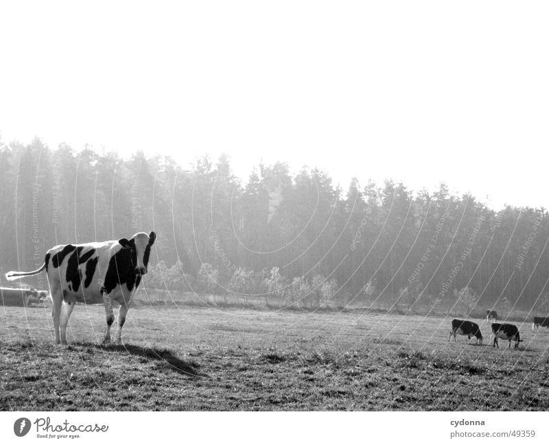 Kuhweide Tier Wiese Licht Landwirtschaft Vieh Frühling Säugetier Natur Schwarzweißfoto Weide Landschaft