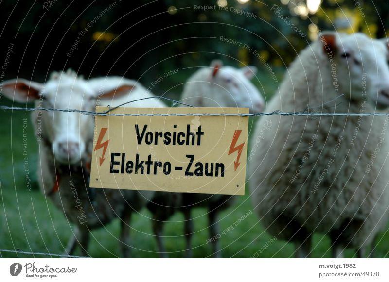 Gefangene Farbfoto Starke Tiefenschärfe Blick in die Kamera Blitze Wiese Nutztier Schaf 3 Tier Tiergruppe Elektrozaun Hinweisschild Warnschild festhalten