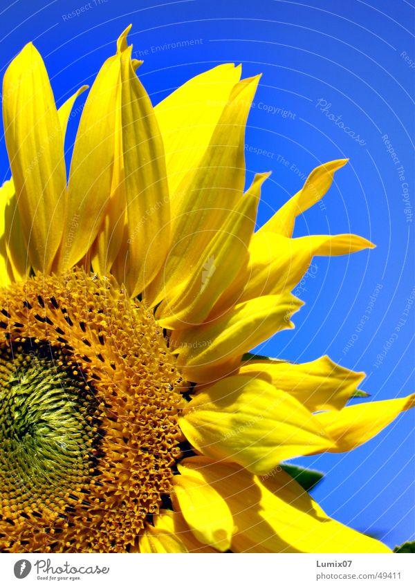 Sunflower 3522 Natur blau Pflanze Sommer gelb Blüte Sonnenblume