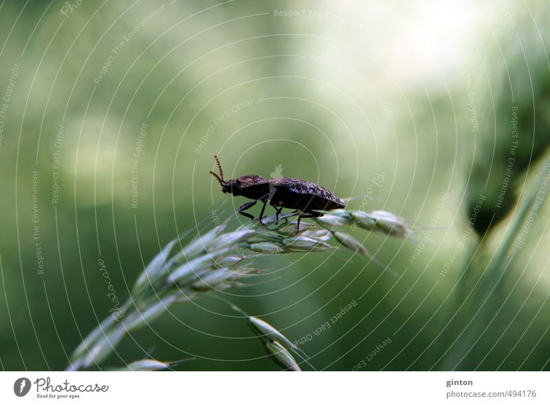 Mausgrauer Schnellkäfer Natur grün Pflanze Sommer Tier Wiese Gras braun Feld Wildtier stehen Käfer Grünpflanze