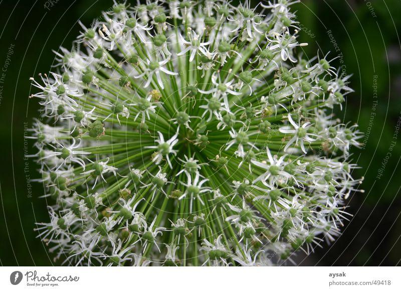 Schnitty Blüte Schnittlauch Pflanze Sommer Natur