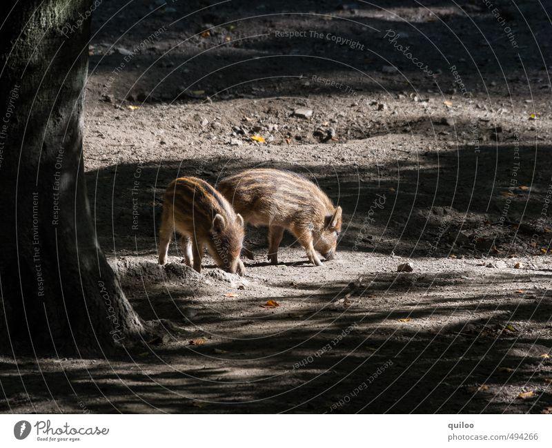 kleine Ferkelei Natur Erde Sonnenlicht Herbst Baum Wald Wildtier Wildschwein Frischling 2 Tier Tierjunges Fressen Zusammensein Neugier niedlich braun gelb gold
