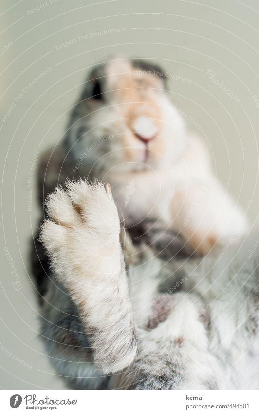 Gib fünf Tier Haustier Fell Krallen Pfote Zwergkaninchen Hase & Kaninchen 1 sitzen niedlich Gelassenheit ruhig Selbstbeherrschung Farbfoto Gedeckte Farben