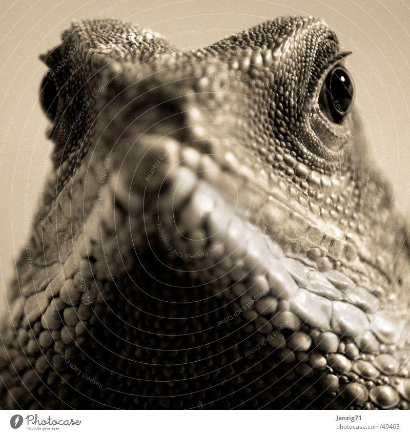 Beobachter. Auge Reptil Echsen Agamen Wasseragame