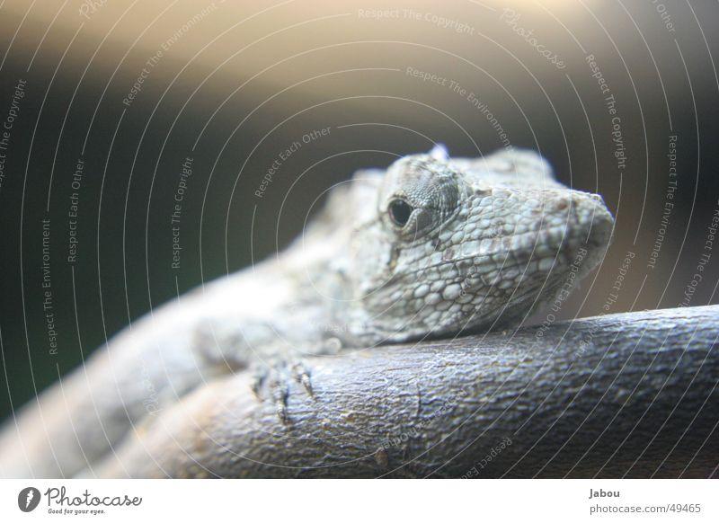 Anoli Reptil Echsen