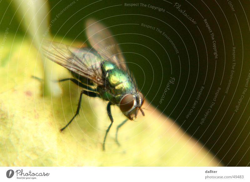 Fliege in freier Wildbahn grün Beine glänzend Flügel Insekt