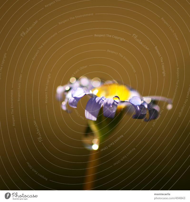 Sonntagsblume Umwelt Natur Pflanze Herbst Blume Blatt Blüte Grünpflanze Wildpflanze Topfpflanze ästhetisch dünn authentisch einfach frisch schön klein nah nass