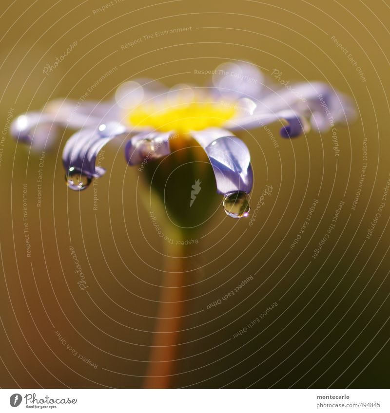 Blume Umwelt Natur Pflanze Herbst Schönes Wetter Grünpflanze Wildpflanze Topfpflanze Tropfen dünn authentisch einfach glänzend nass natürlich rund Wärme wild
