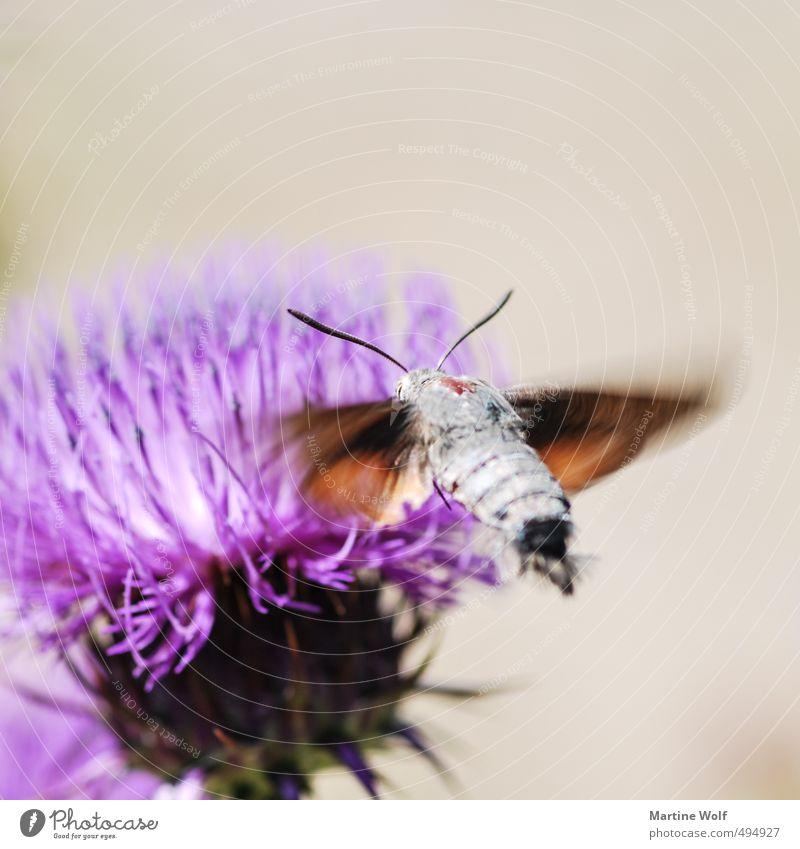 Taubenschwänzchen Natur Tier fliegen Europa Italien Schmetterling Flugzeuglandung bestäuben Kalabrien