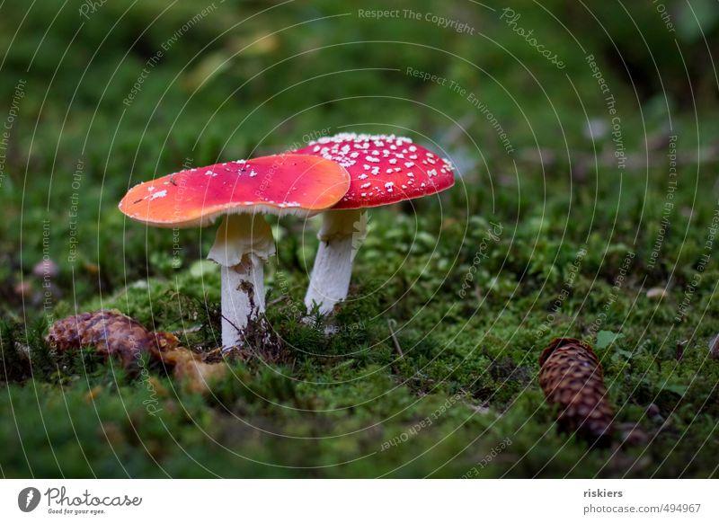 glückspilze :) Umwelt Natur Pflanze Herbst Pilz Fliegenpilz Moos Zapfen Wald ästhetisch Fröhlichkeit grün rot weiß einzigartig elegant Idylle Wachstum Farbfoto