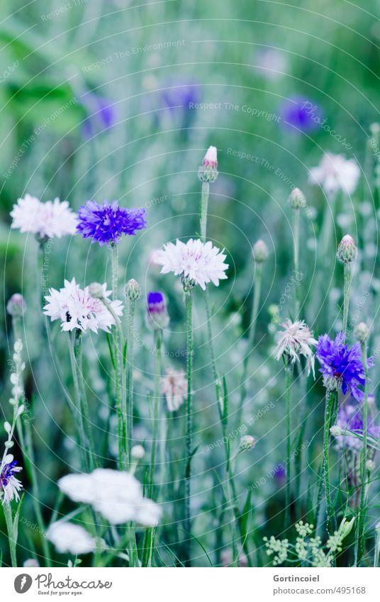 Feldblumen Natur Pflanze Sommer Blume Blüte schön blau grün weiß Kornblume Kornfeld ländlich Farbfoto Außenaufnahme Textfreiraum oben Schwache Tiefenschärfe