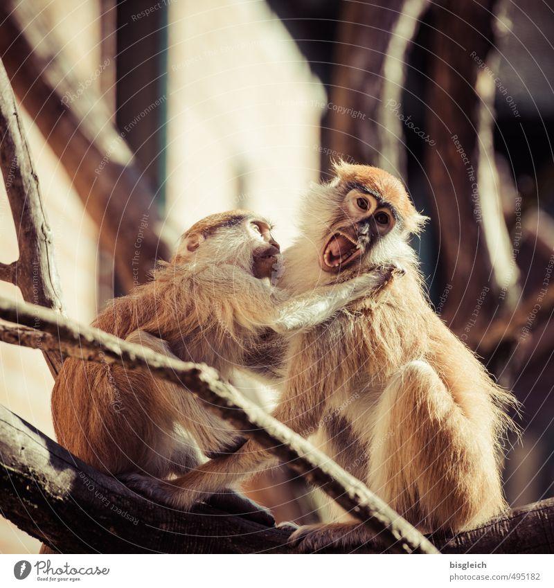 Aua! Tier Affen 2 schreien Konflikt & Streit Aggression wild braun Stress Wut Farbfoto Außenaufnahme Tag