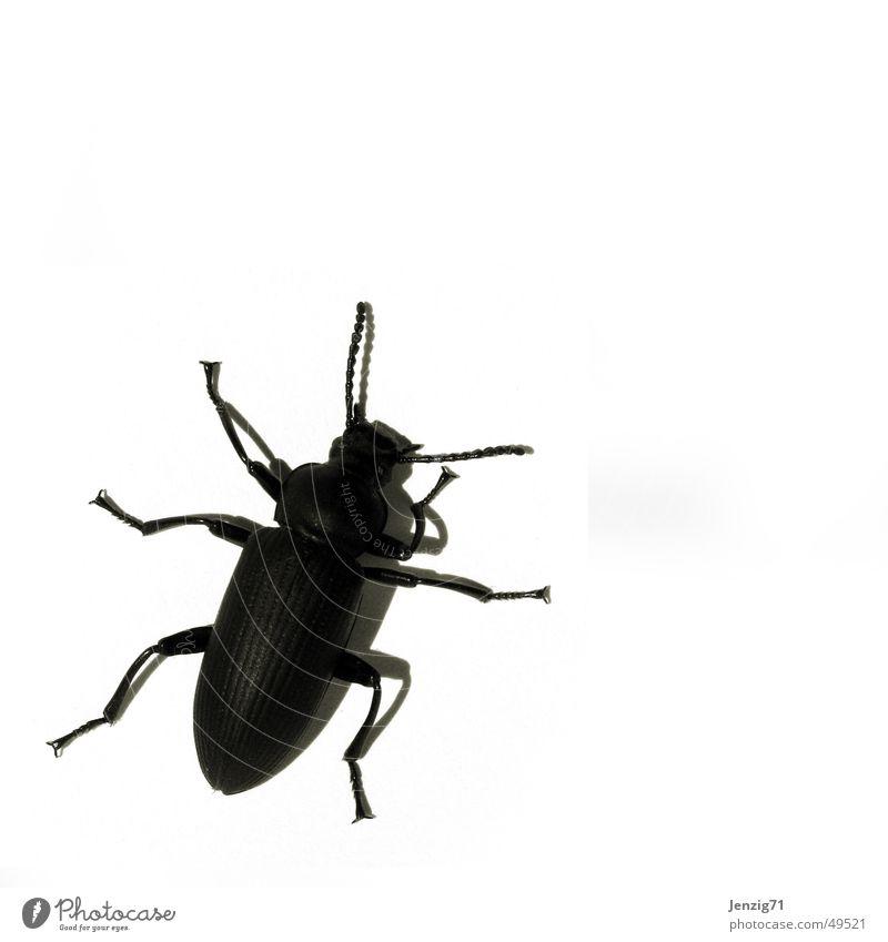 Black bug. schwarz Schiffsbug Insekt krabbeln Schädlinge Käfer schwarzer käfer black black bug Makroaufnahme