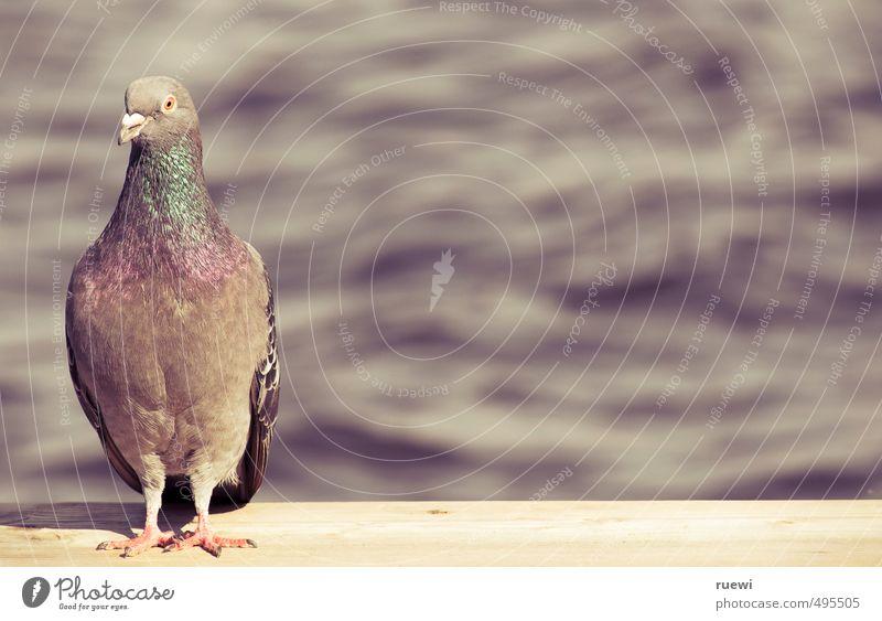 Bin ich schön? Umwelt Natur Pflanze Urelemente Wasser Frühling Sommer Schönes Wetter Seeufer Flussufer Tier Wildtier Vogel Taube 1 Holz Zeichen Brunft stehen