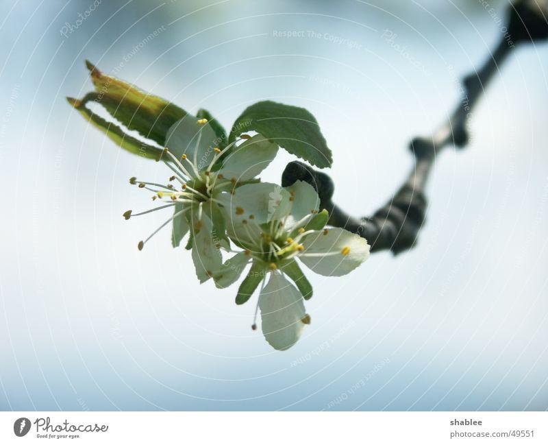Zwetschgen gabs keine Himmel Baum Blüte Frühling Ast Pflaume