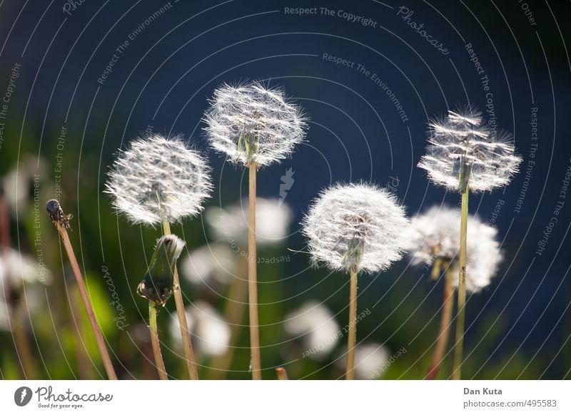 Dieses kleine Blümelein … Natur Pflanze Sommer Grünpflanze Wildpflanze Löwenzahn Löwenzahnfeld Wiese frei Freundlichkeit blau grün weiß Glück Fröhlichkeit