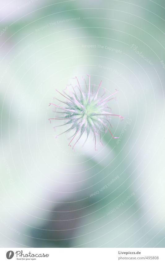 Blüte Umwelt Natur Pflanze Blume grün violett türkis weiß Farbfoto Gedeckte Farben Menschenleer