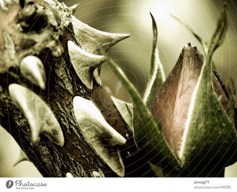 Thorns. Blüte Rose Baumstamm Blütenknospen Stachel Dorn Rosenstock