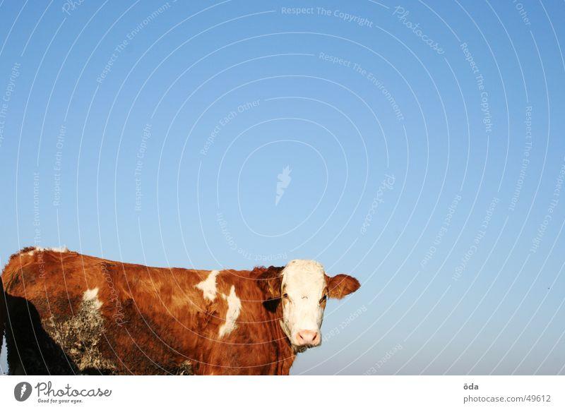 auf der weide steht ne kuh... Himmel blau Tier Kuh Weide Rind Vieh Fleckvieh