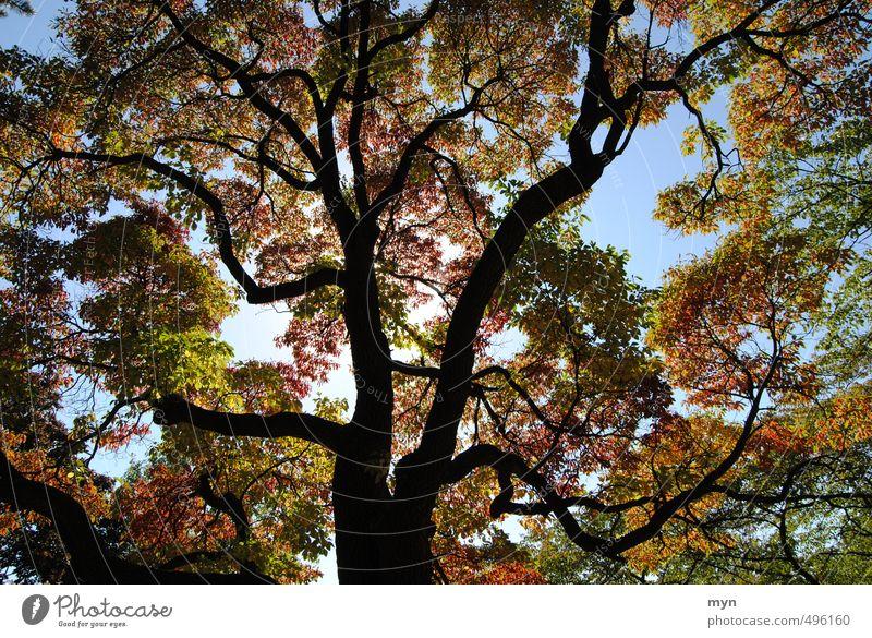 Kanadischer Herbst I Natur Baum Park Wald ruhig Ferien & Urlaub & Reisen Kanada Toronto Ontario Ast Indian Summer Maple Ahornbaum leuchten Umwelt Pflanze