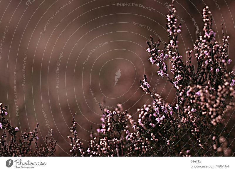 Faszination Heide VI Natur Farbe Pflanze Erholung Herbst Stimmung Hintergrundbild elegant Idylle Design Sträucher Vergänglichkeit Blühend Textfreiraum Romantik violett
