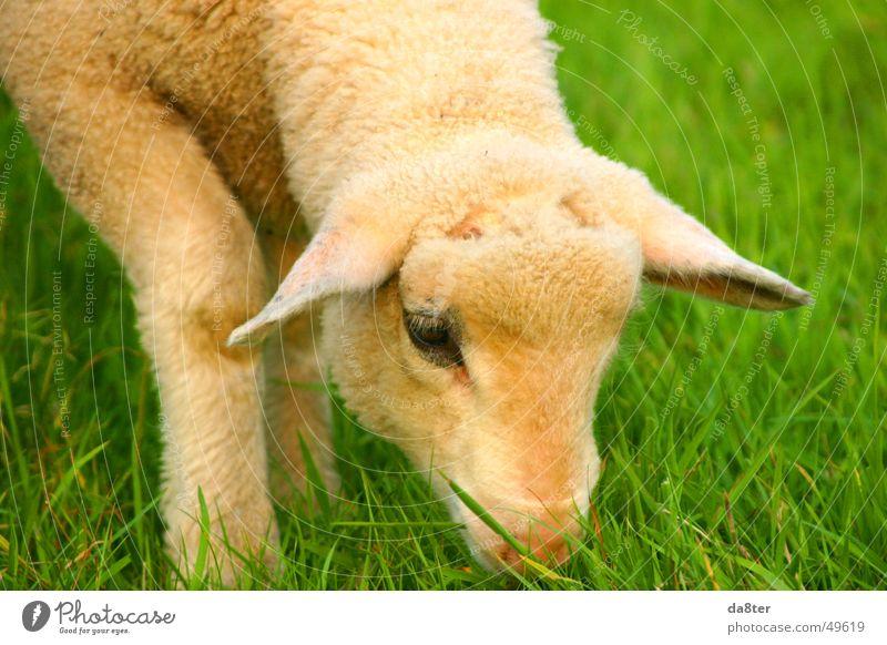 Lamm auf der Wiese grün braun weiß Fressen Gras Halm Fell Wolle Tier Auge Ohr