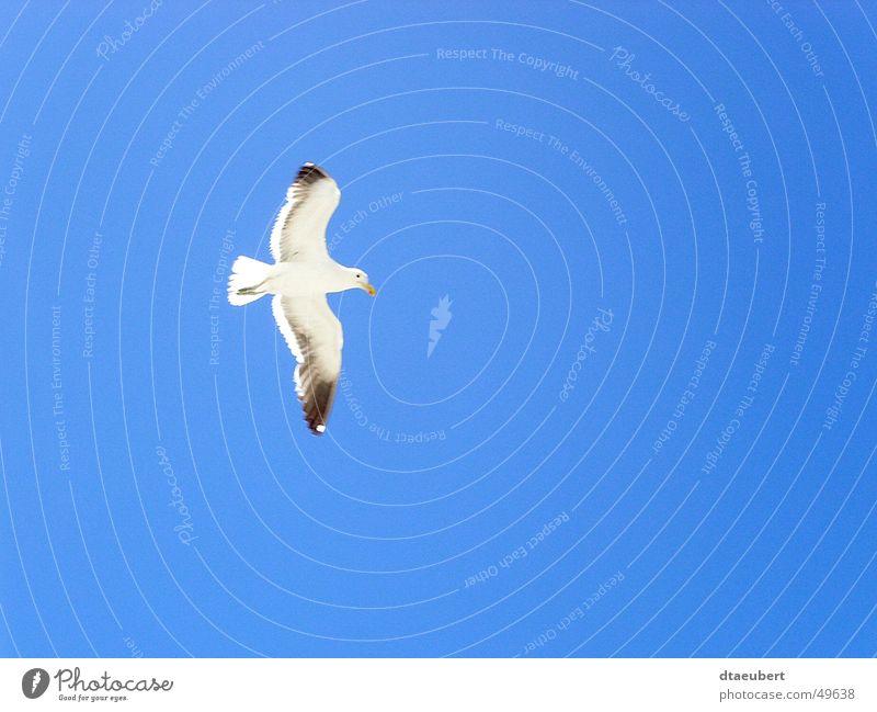 grenzenlos Natur Himmel weiß blau schwarz Tier Freiheit Vogel fliegen Frieden Unendlichkeit Möwe