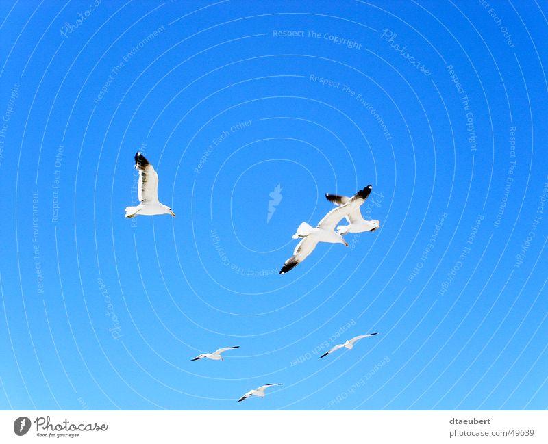 Möwen Party Natur Himmel weiß blau Sommer schwarz Tier Freiheit Vogel fliegen Frieden Unendlichkeit