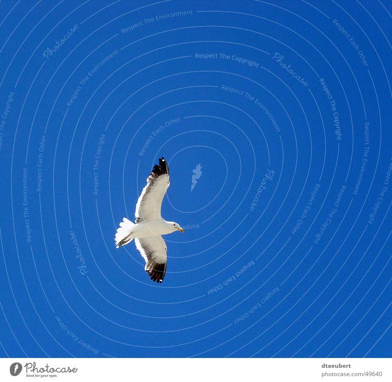 über allem Möwe weiß Frieden schwarz Tier Vogel Unendlichkeit Sommer blau möve Natur Himmel fliegen Freiheit oben