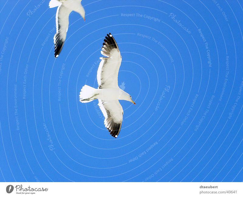 was guckst du? Möwe weiß Frieden schwarz Tier Vogel Unendlichkeit Sommer 2 blau möve Natur Blick Himmel fliegen Freiheit