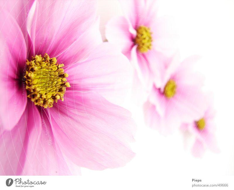 Rosa Ladies Farbfoto Innenaufnahme Hintergrund neutral schön Sommer Natur Pflanze Blume Blüte Blühend rosa Fröhlichkeit 4 Schmuckkörbchen flower blossom