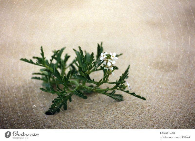wüste blume Wasser weiß Blume grün Strand grau Sand Wüste zart Frankreich trocken Stranddüne Durst Atlantik Sandkorn