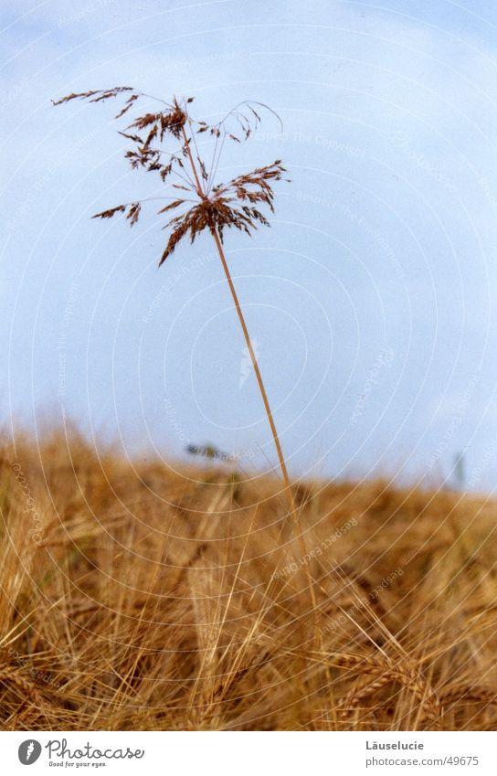 hoch hinaus Herbst Feld Gras hell-blau Halm groß Getreide Himmel