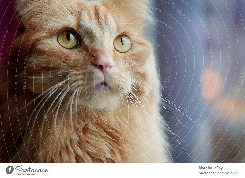 Kater Tagträume Tier Haustier Katze Tiergesicht Fell 1 beobachten Denken genießen Blick leuchten träumen warten Neugier weich mehrfarbig gold orange Stimmung