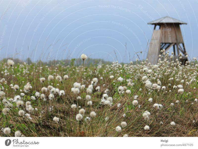 Helgiland | Frühling im Moor Tourismus Ausflug Umwelt Natur Landschaft Pflanze Schönes Wetter Gras Blüte Wildpflanze Wollgras Wollgraswiese Sumpf Aussichtsturm