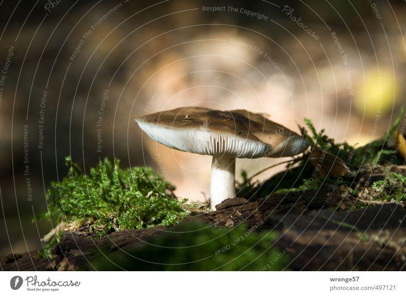 Pilzzeit Natur Wald Herbst natürlich braun Lebensmittel Erde Moos Waldboden Pilzhut bodennah