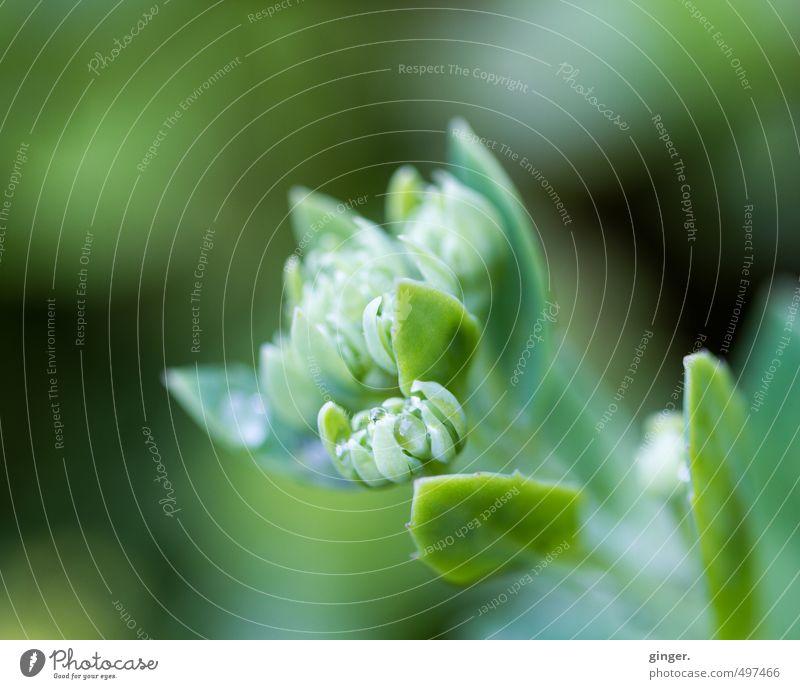 Grünes Leuchten Umwelt Natur Pflanze Frühling Schönes Wetter Blume Blatt Blüte Grünpflanze Garten grün Blütenknospen einfach farbnuancen strahlend klein diffus