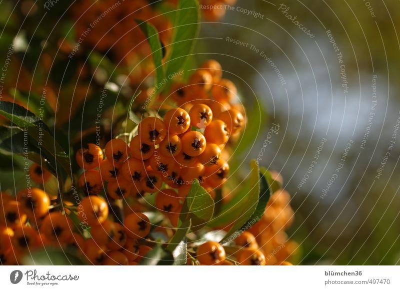 Herbst in orange Natur Pflanze Gesunde Ernährung Blatt Wald natürlich Gesundheit klein Frucht glänzend frisch leuchten Sträucher Beeren