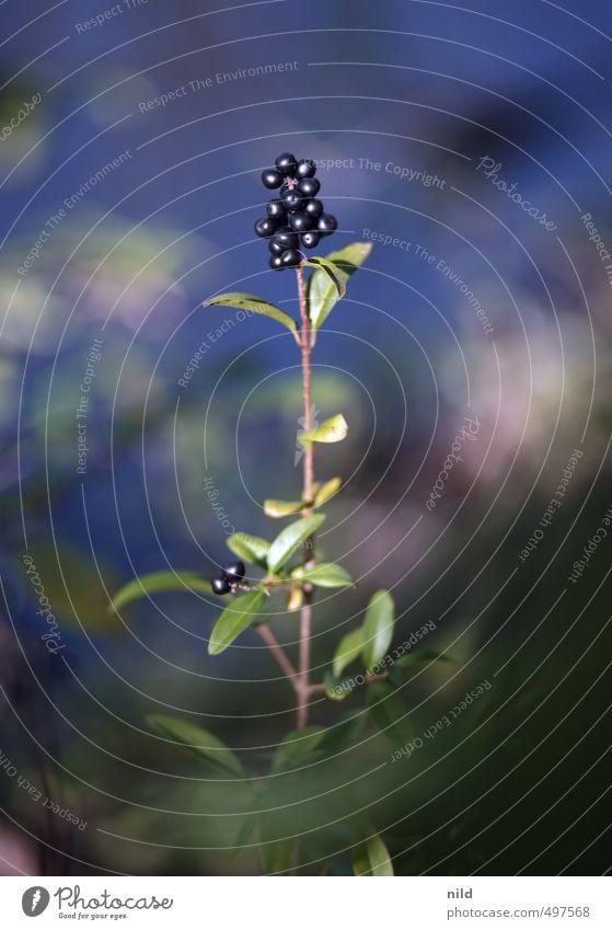 Blackberry Umwelt Natur Pflanze Sträucher Liguster blau grün Farbfoto Außenaufnahme Detailaufnahme Textfreiraum oben Tag Schwache Tiefenschärfe