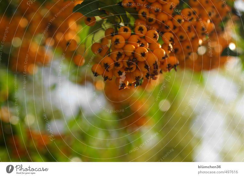 Gesund Natur Pflanze Gesunde Ernährung Blatt Wald Herbst natürlich Gesundheit klein Frucht orange glänzend frisch leuchten Sträucher Beeren