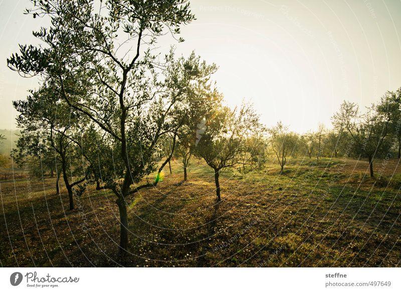 Olivenbaum, Siena, Oktober, morgens Sonnenaufgang Sonnenuntergang Sonnenlicht Sommer Herbst Schönes Wetter Baum schön Toskana Olivenernte Morgendämmerung