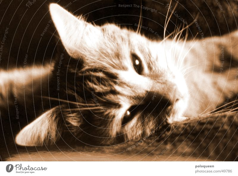 Hallo Spencer Katze Tier Hauskatze Schwarzweißfoto Sepia