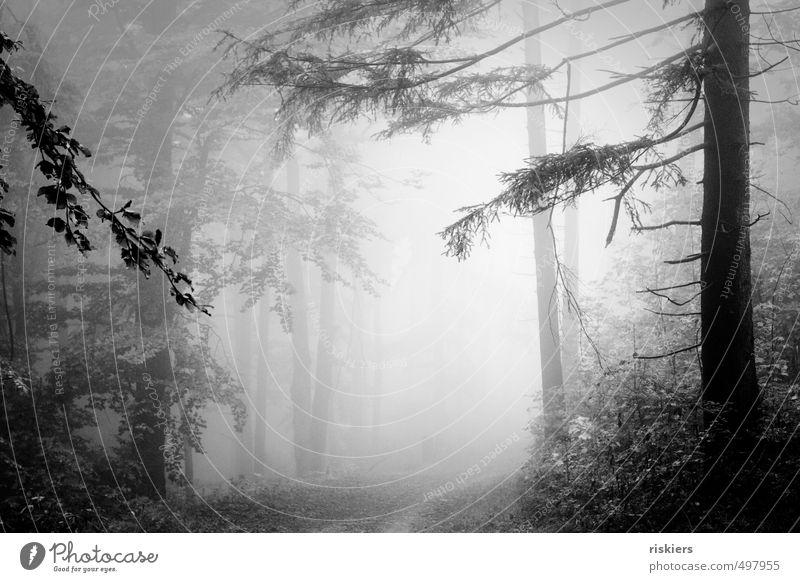 lost in fog Umwelt Natur Landschaft Pflanze Herbst Nebel Wald leuchten dunkel kalt ruhig Sehnsucht Einsamkeit Schwarzweißfoto Außenaufnahme Menschenleer