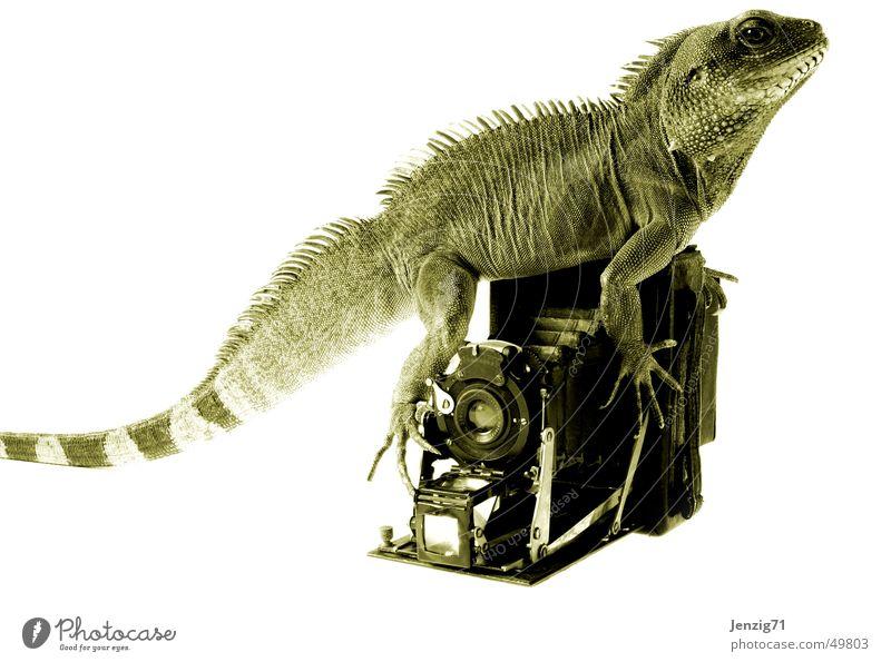 Kammeramann. Fotografie Fotokamera Nostalgie Fotografieren Reptil Echsen Agamen Wasseragame Plattenkamera