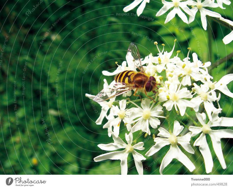 Bienen und Blumen weiß grün gelb schwarz Nahaufnahme Tier Insekt Wespen Blüte Staubfäden Wiese Natur Stachel fliegen Nektar gartten