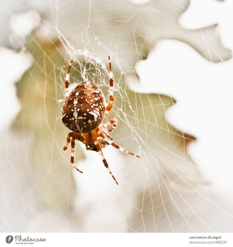 Immer hungrig Natur Tier Herbst Schönes Wetter Wildtier Spinne 1 Kreuz Netz Aggression bedrohlich Ekel elegant exotisch frei gruselig hell schön klein natürlich