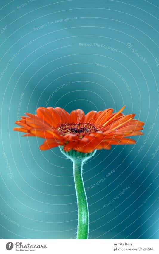 Die schöne Gerbera Pflanze blau grün schön Sommer Blume Blüte Frühling natürlich Wohnung orange Häusliches Leben frisch Dekoration & Verzierung elegant Geburtstag