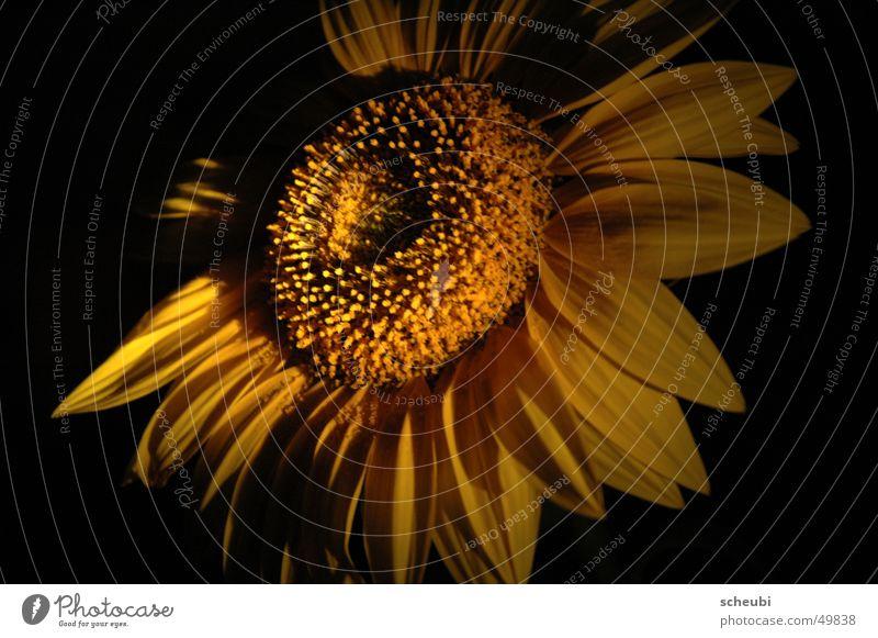 Sonne oder Blume Sonnenblume