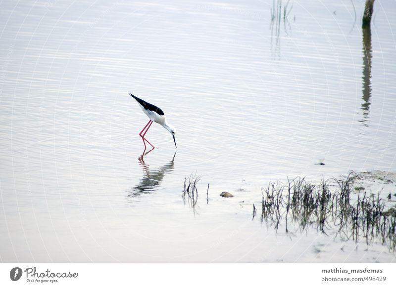 Stelzenläufer auf Beutesuche Himmel Natur weiß Wasser Sommer rot Landschaft ruhig Tier schwarz Bewegung See hell Vogel elegant laufen