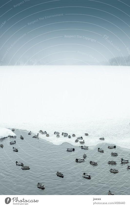 Eisbaden Natur Wasser Himmel Horizont Winter schlechtes Wetter Frost Schnee Seeufer Vogel Entenvögel Tiergruppe Schwimmen & Baden sitzen fest Flüssigkeit kalt